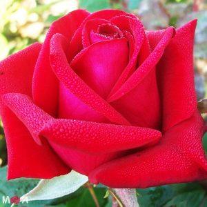 Роза Бургунд 81