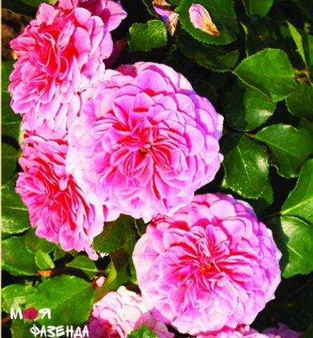 Четыре сезона роза