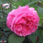 Антон Чехов роза