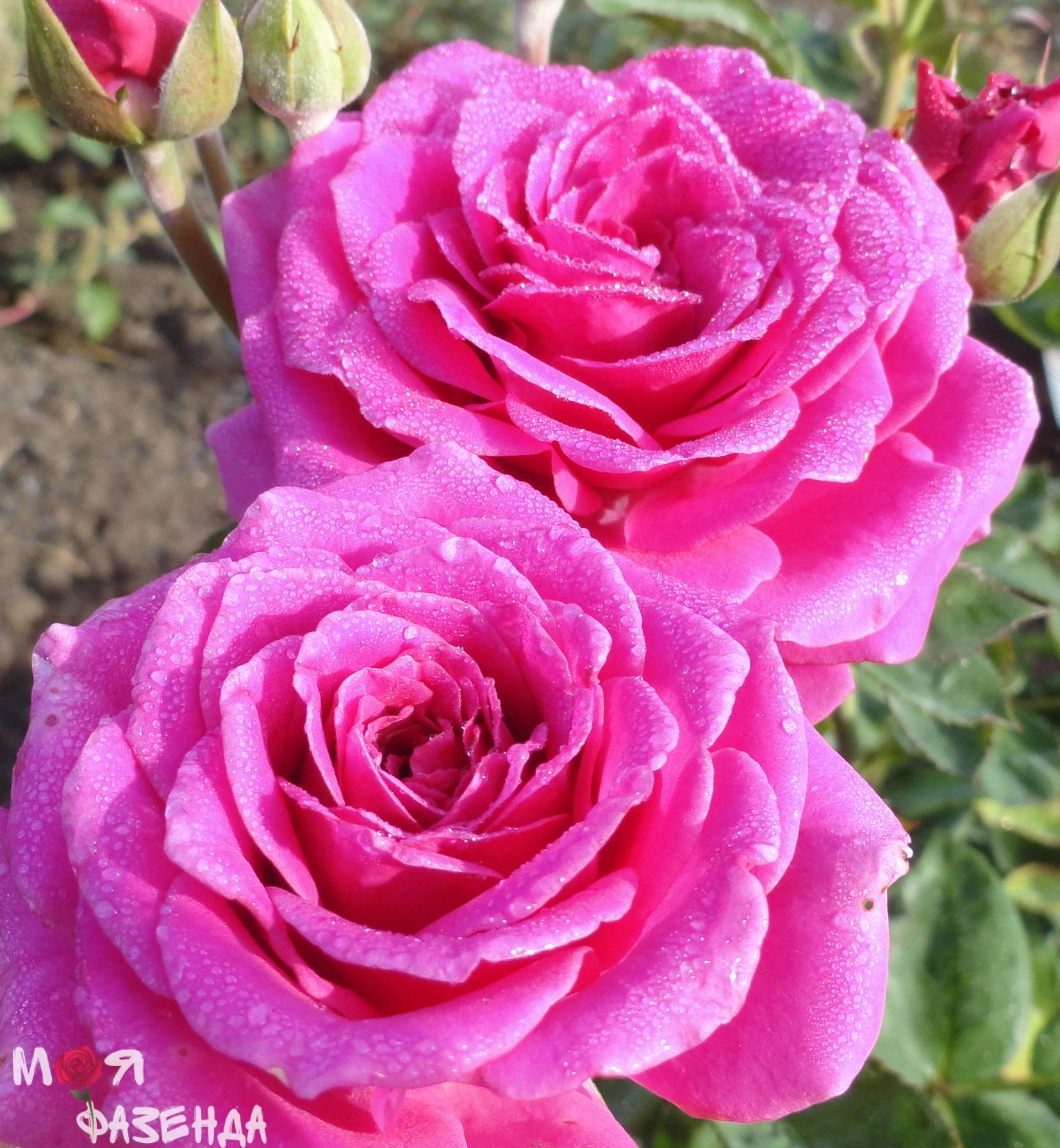 Роза Карат
