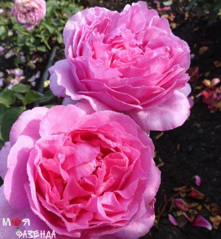 Роза Ив Пьяже