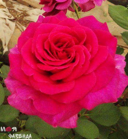 Роза Пароле