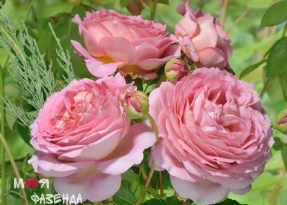 Роза Джубиле Селебрейшн