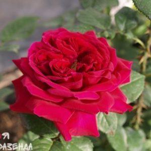 Роза Фишерменс Френд