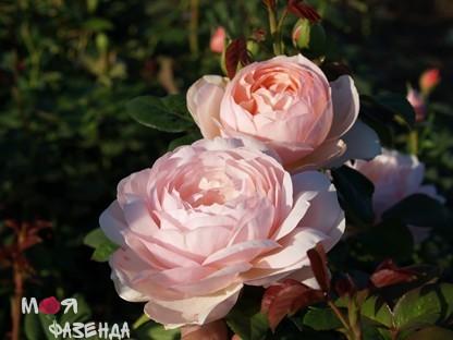 Роза Херитеж