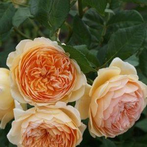 Роза Кроун принцесса Маргаретт