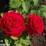 Роза ЛД Брайтвайт