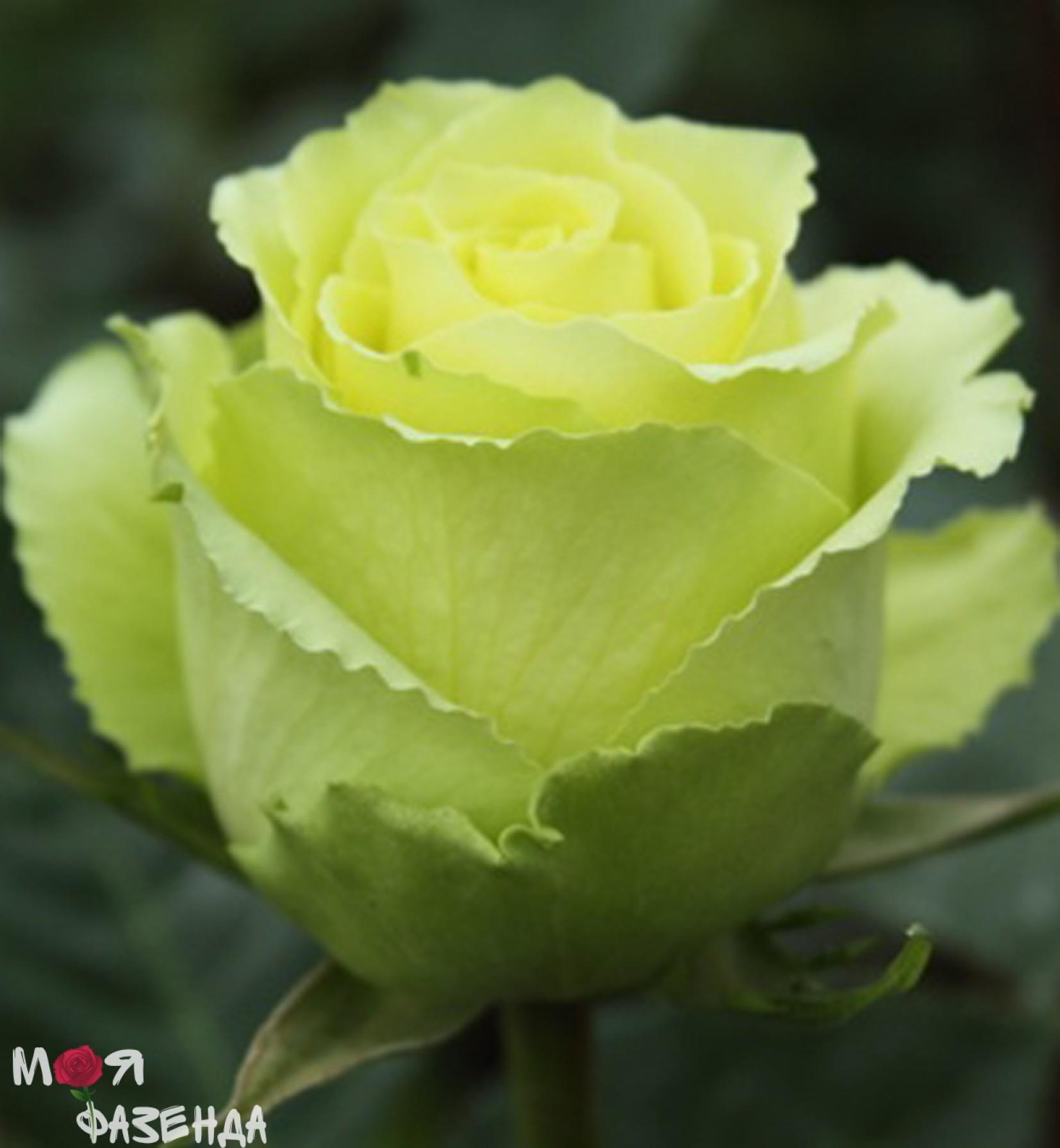 Limbo-green rose