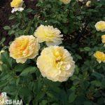 Роза Мулинью