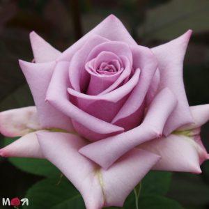 Роза Синяя птица