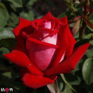Люксор роза