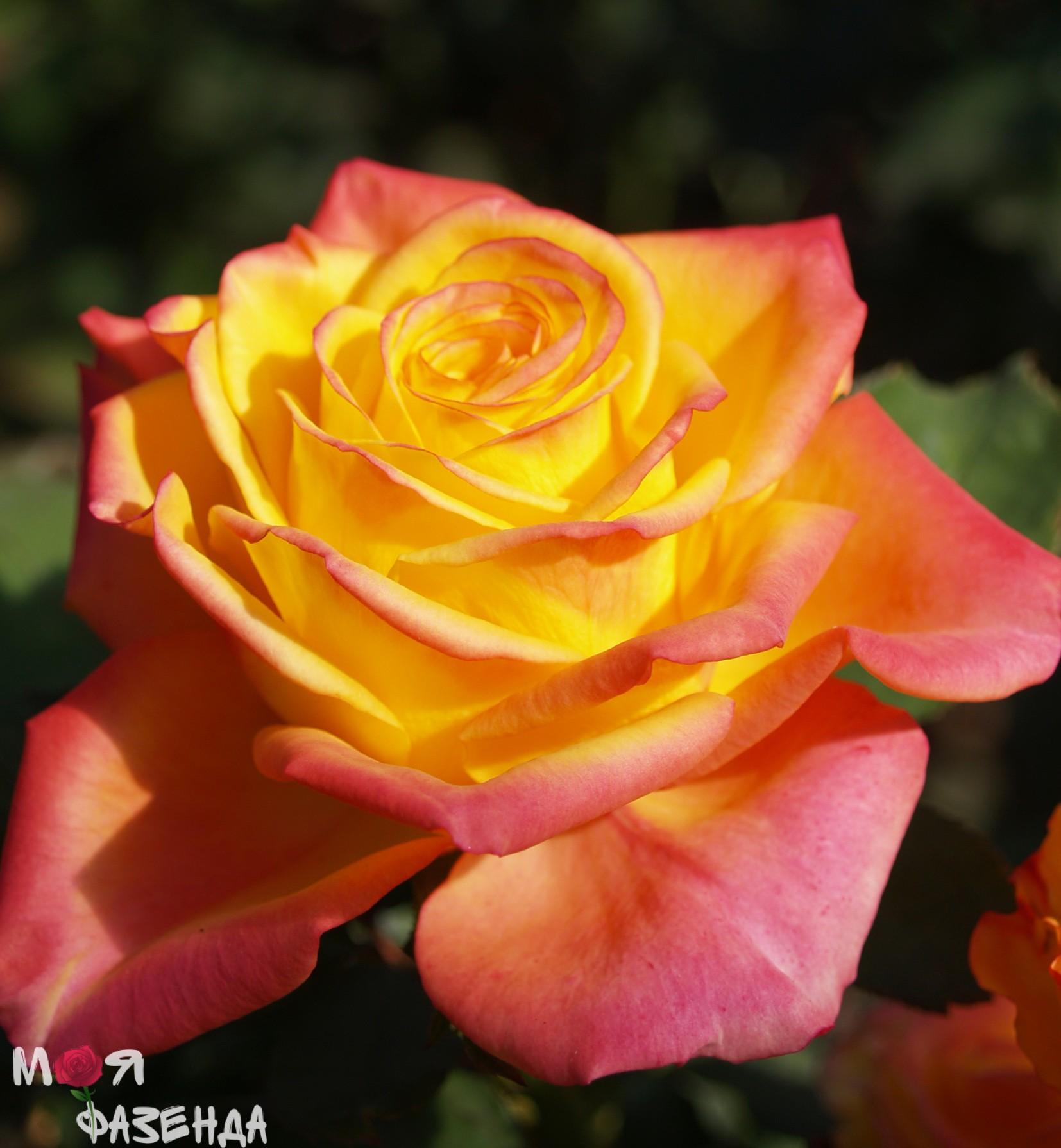 Роза Магма