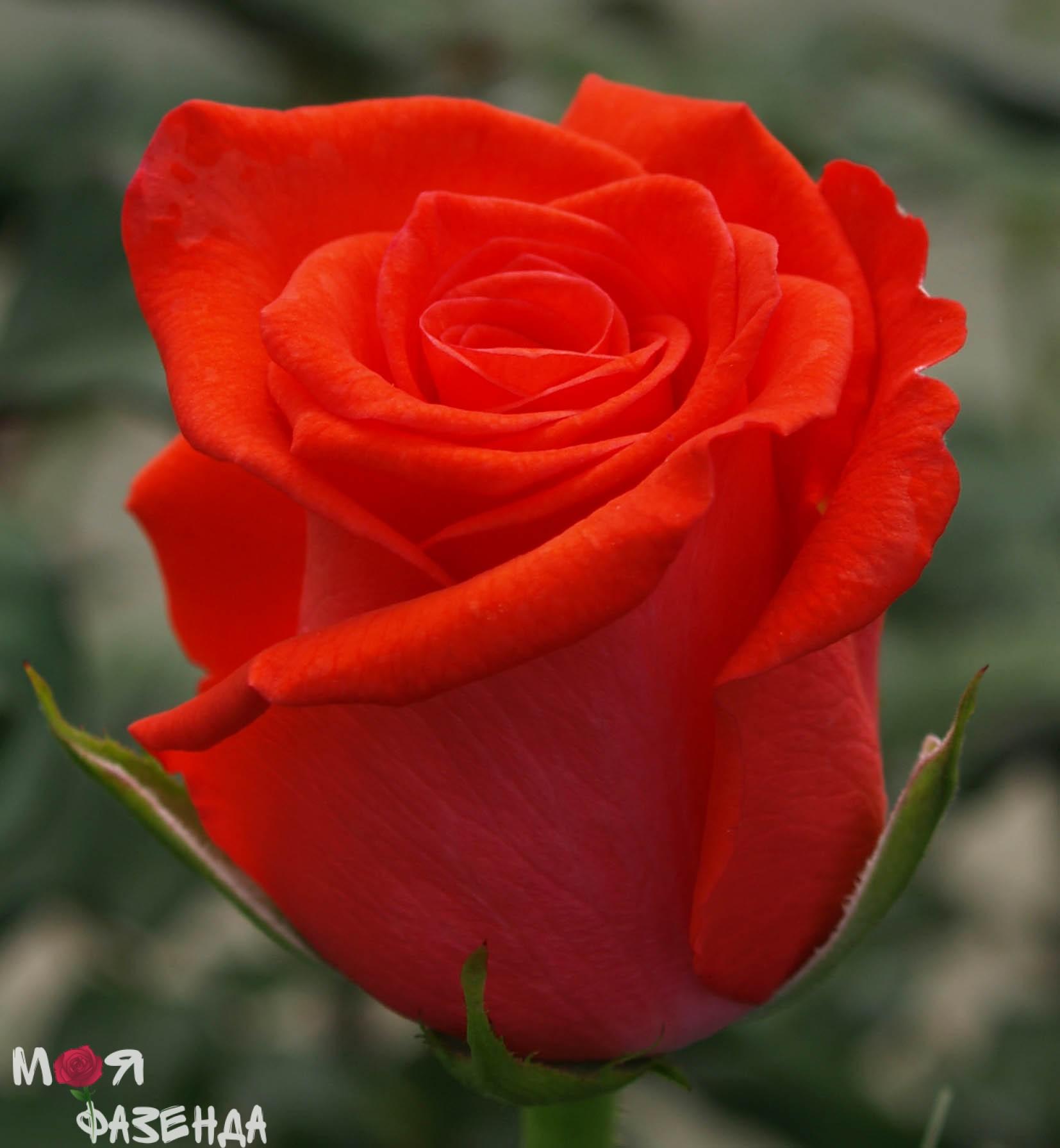 Корвет роза