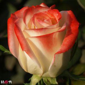 Роза Императрица