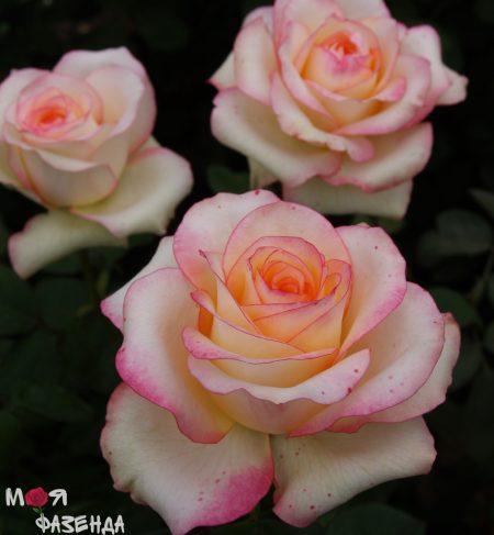 Роза Джимми