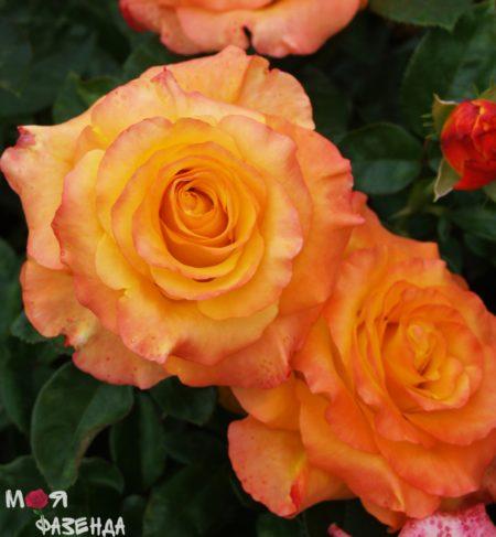 Роза Оранж Джус
