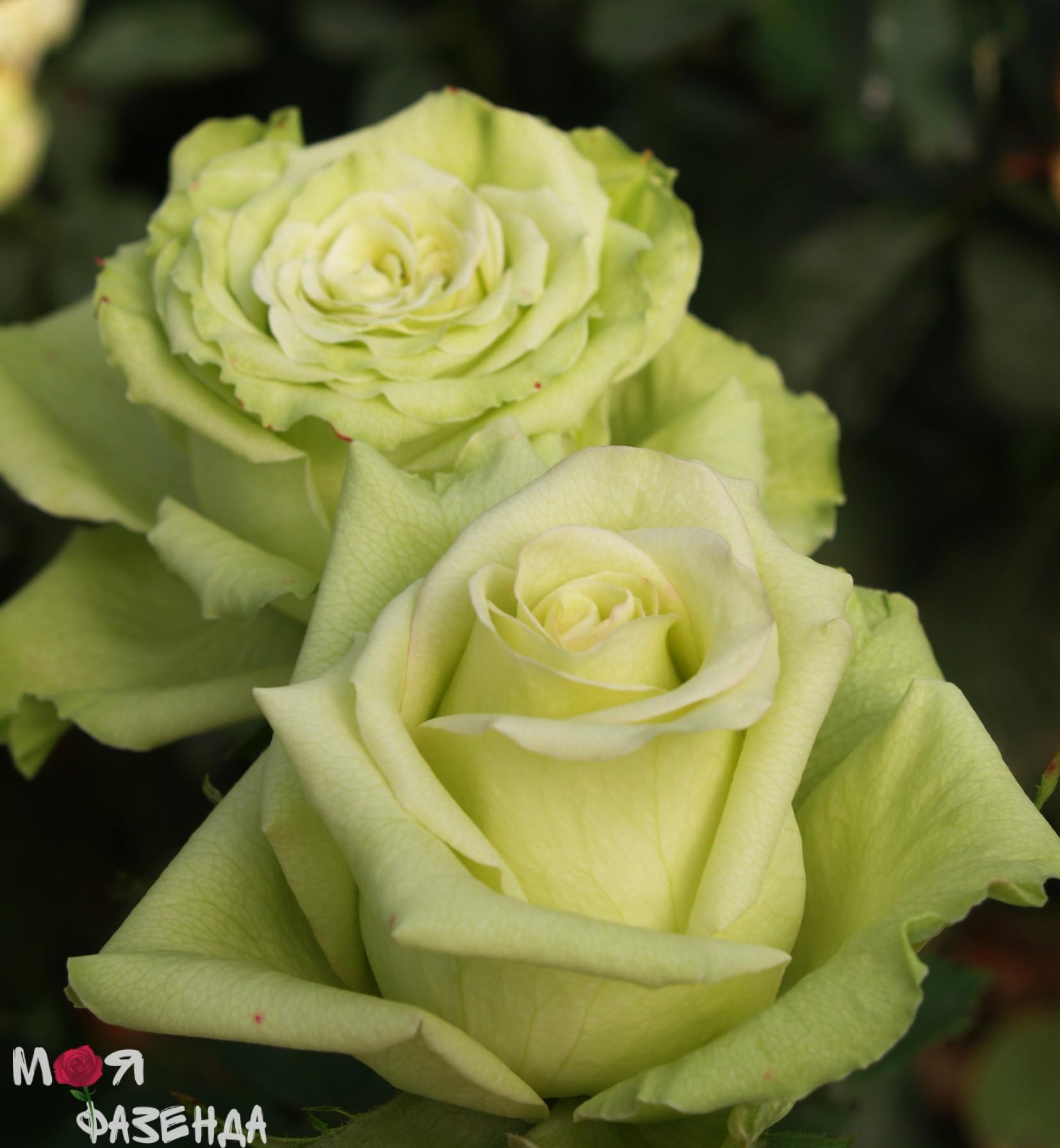 Роза супер грин фото 4