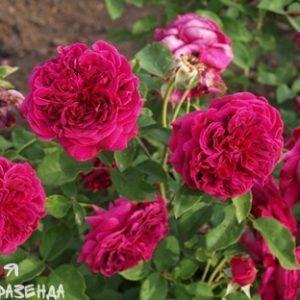 Роза Вильям Шекспир