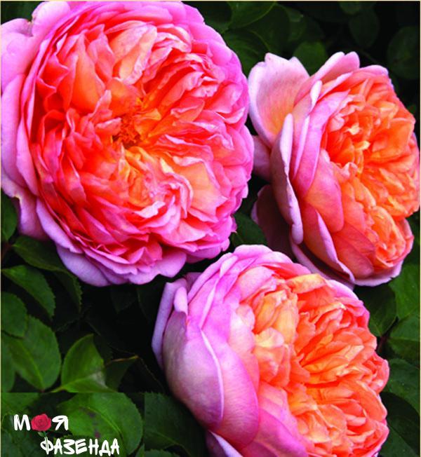 Абрахам Дерби роза