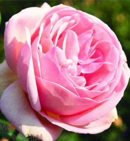 Афродита роза