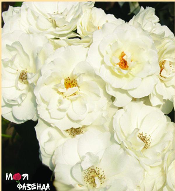 Айсберг роза
