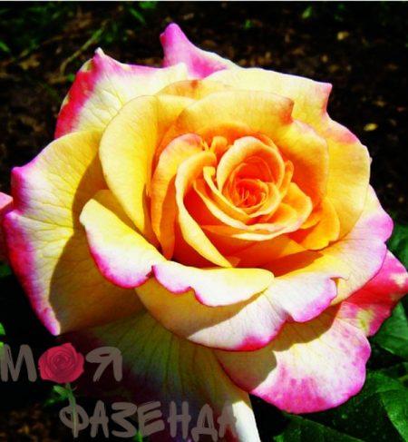Акварель роза