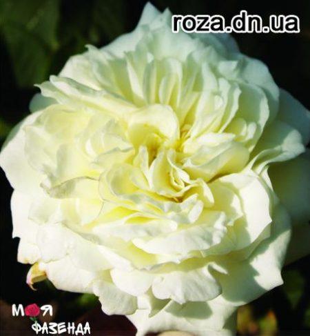 Алабастер роза
