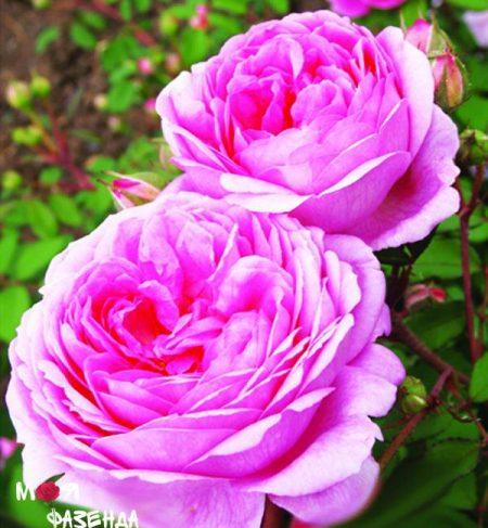 Алан Тичмарш роза