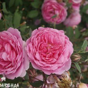 Роза Алан Титчшмарш