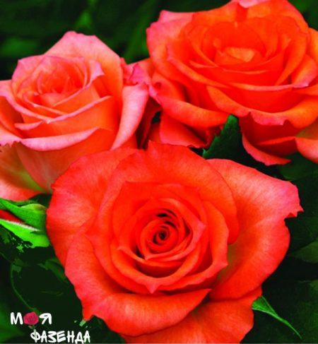 Алегрия роза