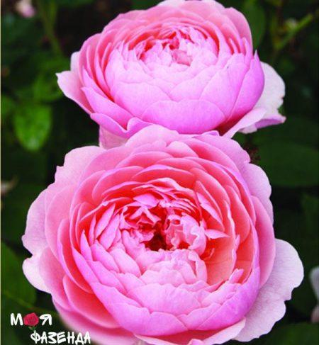 Зэ Алнвик роза