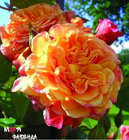 Алоха роза