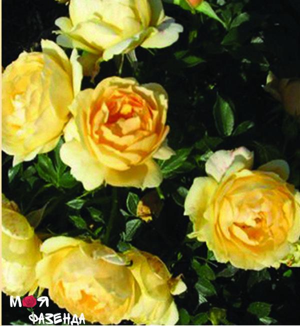Амбер Ковер роза
