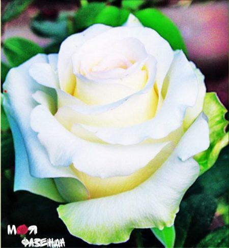 Анастасия роза