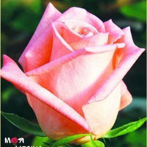 Ангажемент роза