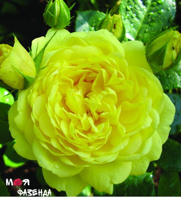 Анна Дюпери роза
