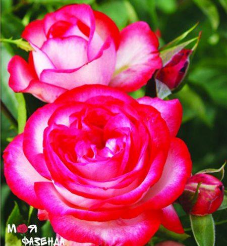 Антик роза