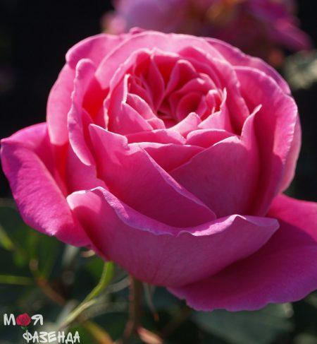 Роза Антон Чехов