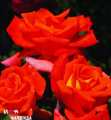 Ариэль Домбазл роза
