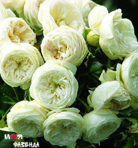 Артемис роза