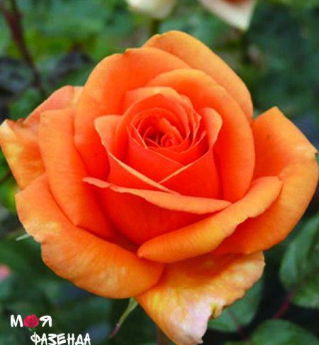 Ашрам роза
