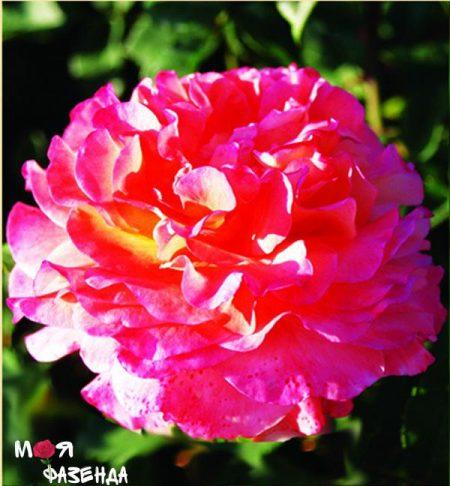Августа Луиза роза