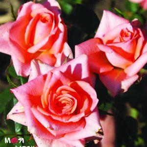 Барбадос роза