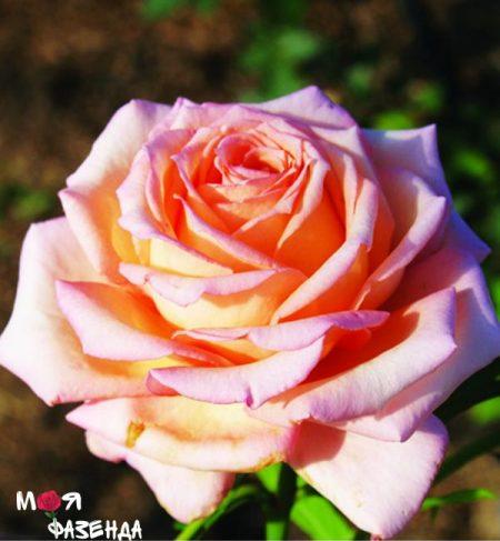 Барок роза