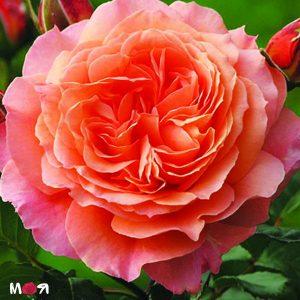 Бельведер роза