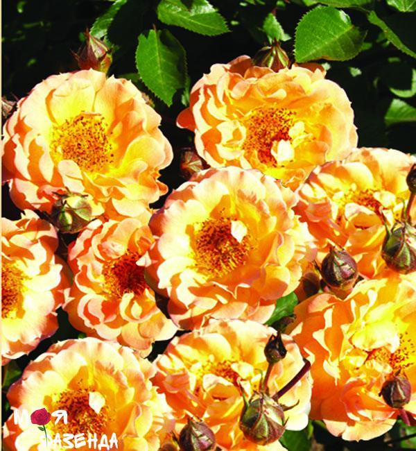 Бесси роза