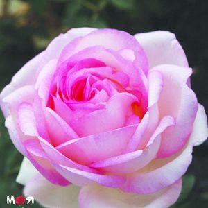 Бидермайер роза
