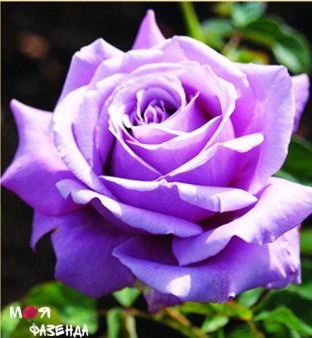 Блю Парфум роза