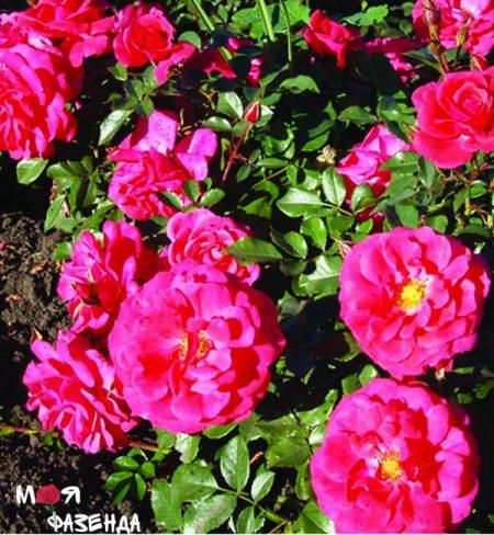 Бонапарт роза