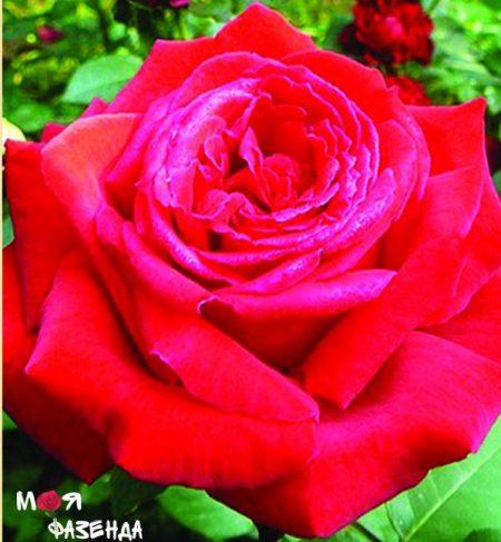 Ботеро роза